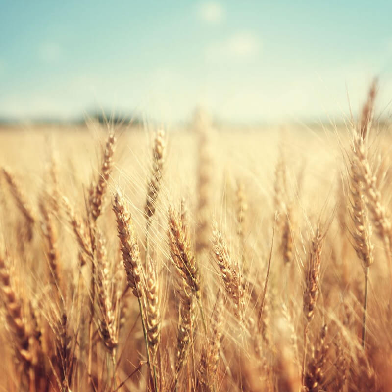 trigo campo